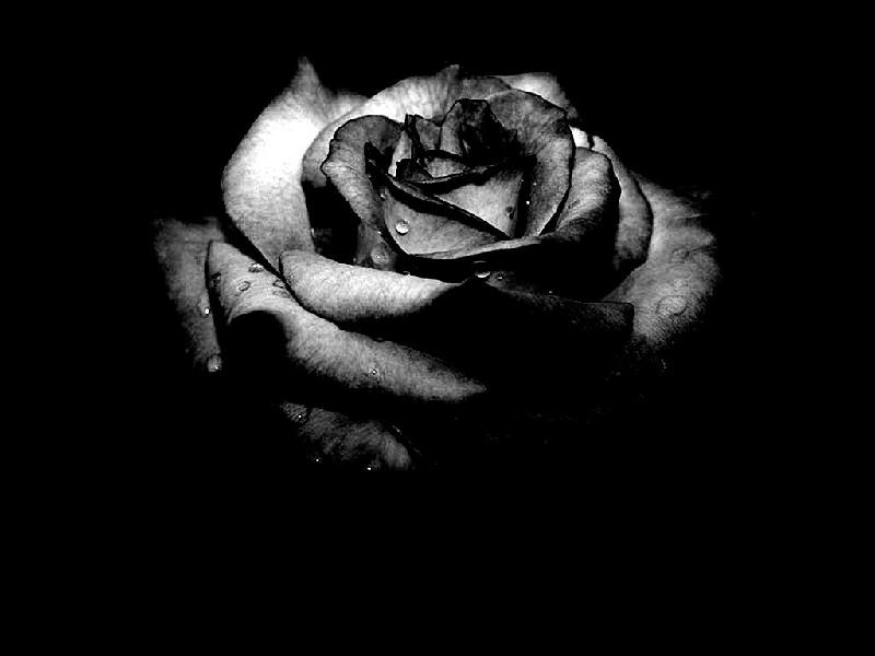 }_�������� ��]�������������� ����]�����_{���������� siyah_gul_resimleri.jpg